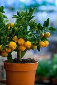Decorative tangerine trees in pots for sale — Stockfoto