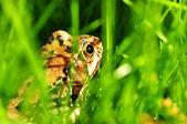 在草里的青蛙 — 图库照片