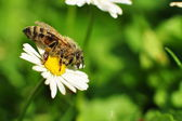 Bee in the morning — Stock Photo