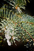Pine branches covered with ice melted in the sun — Stok fotoğraf