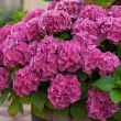 Blooming rose-colored hydrangea — Stock Photo