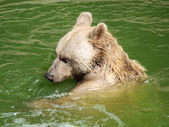 Summer bear bath — Stock Photo