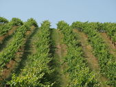 Slope vineyard against the blue sky — Stock Photo