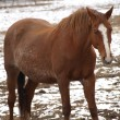 Brown horse on winter pasture — Stock Photo