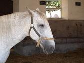 Kladruby white horse — Stock Photo