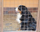 Bernese mountain dog in a cage — Stock Photo