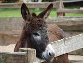 Donkey on the farm — Stock Photo