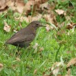Female blackbird in grass — Stock Photo #25534413