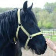 Stock Photo: Black friesihorse