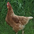 Stock Photo: Domestic fowl in grass