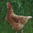 Domestic fowl in the grass — Stockfoto