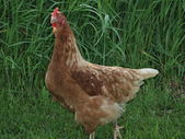 Domestic fowl in the grass — Stock Photo