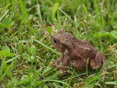 Frog - toad in the grass — Stock Photo