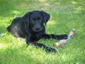 Labrador retriever puppy — Stock Photo