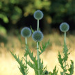 Stock Photo: Globe Thistle ( Echinops ), Eastern Bohemia