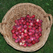 Stock Photo: Autumn apple harvest , south Bohemia