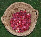 Herbst apfelernte, südböhmen — Stockfoto