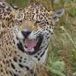 Leopard ( Panthera pardus ) — Stock Photo