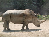 White rhinoceros ( Ceratotherium simum ) — Stock Photo
