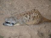 Meerkat ( Suricata suricatta ) — Stock Photo
