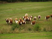 Running herd of cows grazing land — Stock Photo