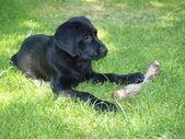 Cachorro labrador retriever — Foto de Stock