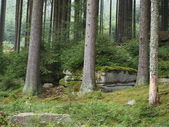Spruce forest in summer — Stock Photo