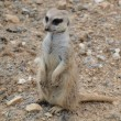 Meerkat ( Suricata suricatta ) — Stock Photo