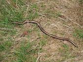 Slow Worm ( Anguis fragilis ) — Foto de Stock