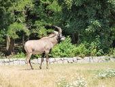 Antilopa — Stock fotografie