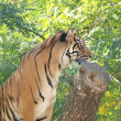 Tiger ( Panthera tigris ) — Stock Photo