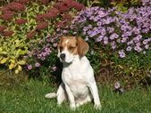 Young female tricolor beagle — Stockfoto