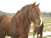 Brun häst på vintern betar — Stockfoto