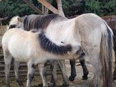 Lactating mare foal, South Bohemia — Stock Photo