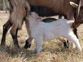 Goat breastfeed cubs — Stock Photo