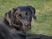 Labrador retriever puppy — Stock Photo