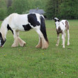 Irish Cob with foal in the pasture — Stock Photo #46172901