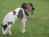 Irish Cob foals on pasture, South Bohemia — Stock Photo