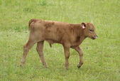 Brown cow in the pasture — Stock Photo