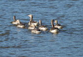 Wild geese with young, South Bohemia — Zdjęcie stockowe