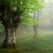 Beech forest in spring with fog — Stock Photo