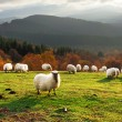 Sheep at sunset — Stock Photo