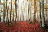 Beautiful beech forest with fog — Stock Photo