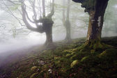 Tenebrous beech forest with fog — Stock Photo