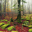 Stock Photo: Panoramof beech forest