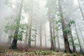Foresta di cipressi nella nebbia — Foto Stock