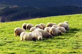 Flock of typically basque latxa sheep — Stock Photo