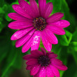 Two pink daisy flowers — Stock Photo #23360988