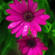 Stock Photo: Two pink daisy flowers