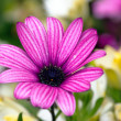 Stock Photo: Pink daisy flower